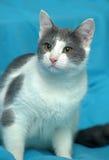 Blanc avec le chat gris de shorthair Photos stock
