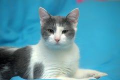 Blanc avec le chat gris de shorthair Photos libres de droits
