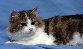 Blanc avec le chat pelucheux brun Images libres de droits