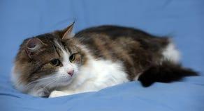 Blanc avec le chat pelucheux brun Photographie stock