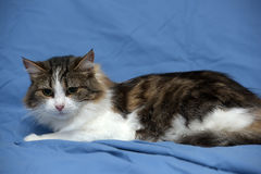 Blanc avec le chat pelucheux brun Image libre de droits