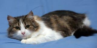 Blanc avec le chat pelucheux brun Photos libres de droits