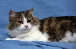 Blanc avec le chat pelucheux brun Image stock