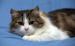 Blanc avec le chat pelucheux brun Images stock