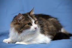 Blanc avec le chat pelucheux brun Photographie stock libre de droits