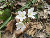 Blanc avec le printemps rose de fleur Images libres de droits