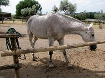 Blanc avec les taches brunes sur le cheval de manteau Image stock