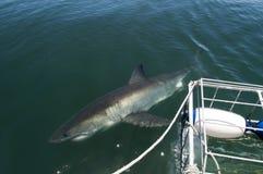 blanc avoisinant de requin d'île grande de tinctorial Images stock