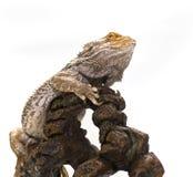 blanc barbu de dragon image stock