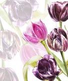 Blanc botanique pour le texte Fleurs de tulipes d'aquarelle Perfectionnez pour des cartes de voeux d'invitation, de mariage ou Photo libre de droits