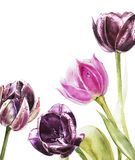Blanc botanique pour le texte Fleurs de tulipes d'aquarelle Perfectionnez pour des cartes de voeux d'invitation, de mariage ou Photographie stock