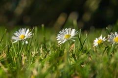 Blanc chamomiled parmi l'herbe verte et jaune Photographie stock libre de droits