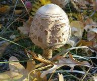 Blanc, champignon, champignons, d'isolement, forêt, fond, automne, macro, herbe, nature, nourriture, naturel, fraîche, usine, bru photo libre de droits