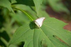 Blanc coloré batterfly avec la feuille verte Images stock