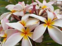 ` Blanc d'étoile de ` de rubra de Plumeria Images stock