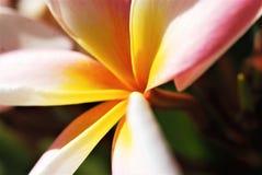 ` Blanc d'étoile de ` de rubra de Plumeria Image stock