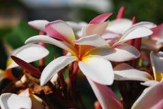 ` Blanc d'étoile de ` de rubra de Plumeria Image libre de droits