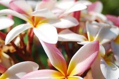 ` Blanc d'étoile de ` de rubra de Plumeria Images libres de droits