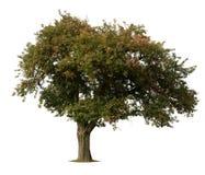blanc d'arbre d'isolement par pomme Photographie stock libre de droits