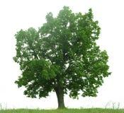blanc d'arbre d'isolement par vert Image libre de droits