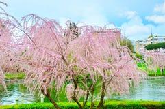 blanc d'arbre de source d'isolement par fond Photos stock