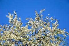 blanc d'arbre de source d'isolement par fond images stock