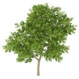 blanc d'arbre d'isolement par pomme Images libres de droits