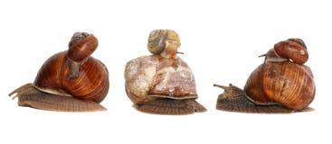 blanc d'escargot d'isolement par jardin Famille d'escargot et de bébé escargot Photos libres de droits