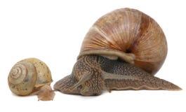 blanc d'escargot d'isolement par jardin Famille d'escargot et de bébé escargot Images stock