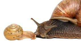 blanc d'escargot d'isolement par jardin Famille d'escargot et de bébé escargot Image libre de droits