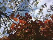 blanc d'isolement d'arbre d'érable Automne tôt, nature Photos stock