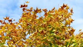 blanc d'isolement d'arbre d'érable Photo stock