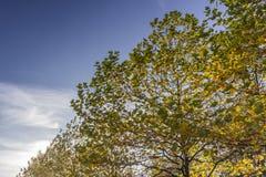 blanc d'isolement d'arbre d'érable Image stock