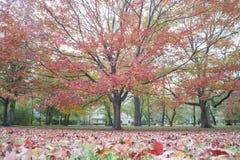 blanc d'isolement d'arbre d'érable Image libre de droits