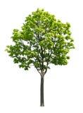 blanc d'isolement d'arbre d'érable Images stock
