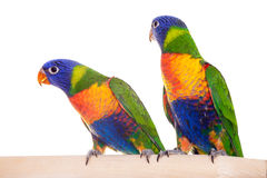 blanc d'isolement d'arc-en-ciel de lorikeet Photo stock