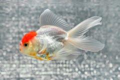 blanc d'isolement d'or de poissons Photographie stock libre de droits