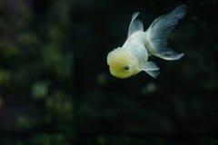 blanc d'isolement d'or de poissons photos libres de droits