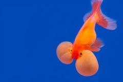 blanc d'isolement d'or de poissons Image stock
