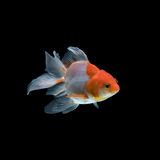 blanc d'isolement d'or de poissons Photos stock