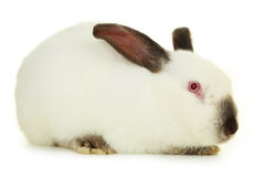 blanc d'isolement de lapin Photographie stock