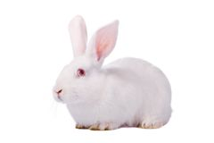 blanc d'isolement de lapin Photographie stock