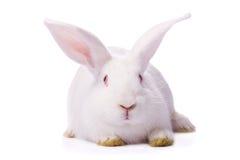 blanc d'isolement de lapin