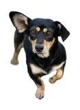 blanc d'isolement par crabot de dachshund Image libre de droits