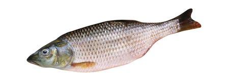 blanc d'isolement par poissons procurables d'ENV images libres de droits