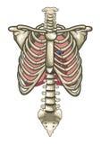 Blanc d'isolement par squelette humain de torse d'anatomie illustration stock