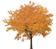 Blanc d'ob d'isolement par érable orange luxuriant moyen Photos stock