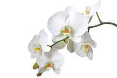 blanc d'orchidée Photo stock