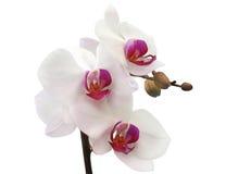 blanc d'orchidée Image stock
