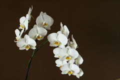 blanc d'orchidée Photo libre de droits